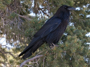 Common_Raven_(Corvus_corax)_RWD
