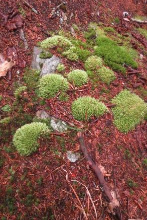 Pincushion moss leucobryum glacum