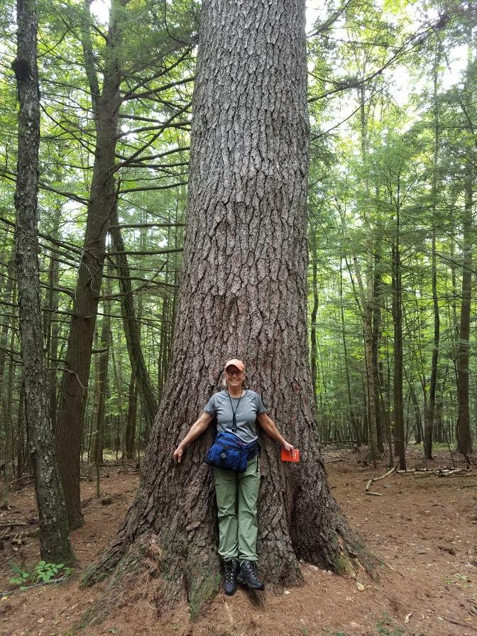 colbeck_old Pinus strobus
